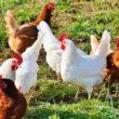 Allevamento galline ovaiole in casa